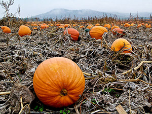 Bulk Pumpkins & Vegetable Farm in the Midwest